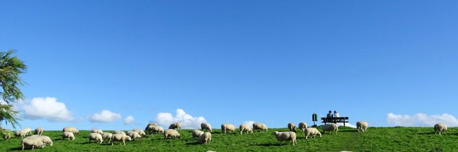 Schafe am Deich von Schillig hinter unserer Ferienwohnung